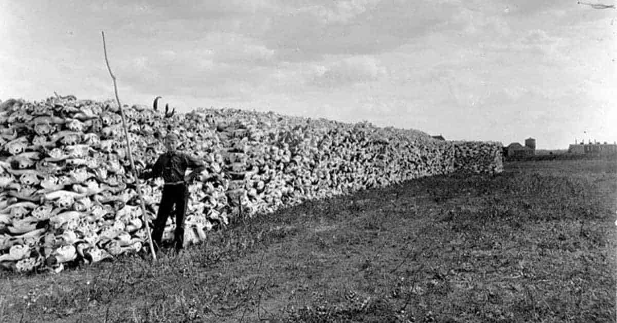 25 Photos of the Wanton North American Bison Hunts